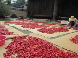 鮮やかな赤!収穫後、色・大きさなどを基準に選別。